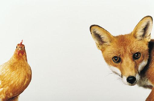 Le renard et la poule