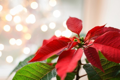 12 décembre 1851. Poinsettia Day