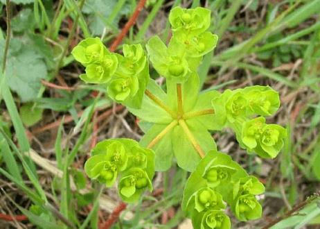 L'euphorbe, belle plante vivace et rustique