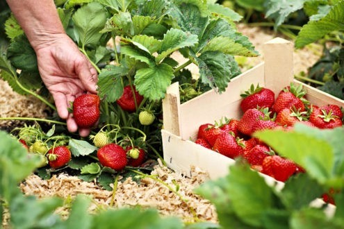 Comment planter des fraises ?