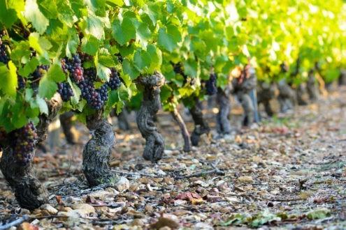 Quel avenir pour les coopératives viticoles ?