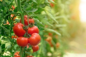 Les rapports interculturels vus à travers l'histoire de la tomate
