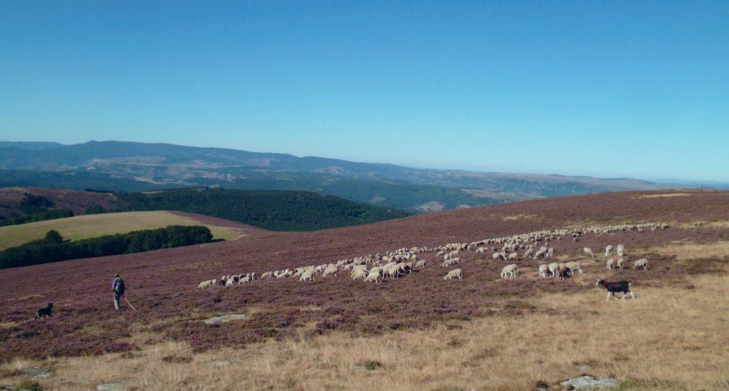 Paysage des Cévennes vallonné un randonneur est suivi par un troupeau de moutons